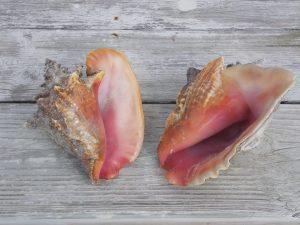 conch-shells-487781_960_720