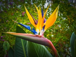 bird-of-paradise-flower-1359718_960_720