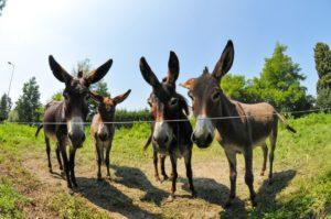 donkeys-896791_960_720
