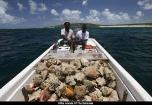Bahamas - Lambi