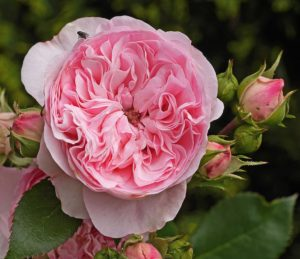 shrub-rose-3421031_960_720