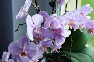 orchid-2667984_960_720
