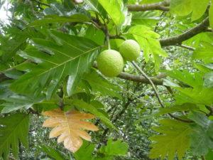 Artocarpus_altilis Auteur Kowloonese