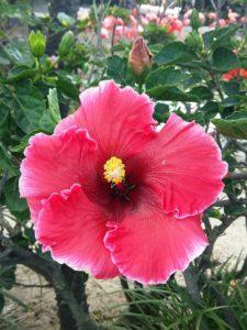 hibiscus-2984164_960_720