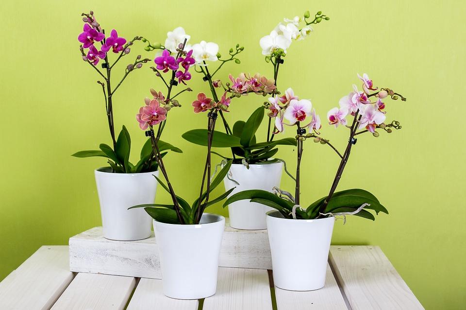 orchids-595242_960_720