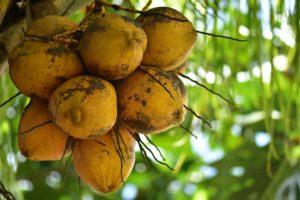 coconuts-3073987_960_720