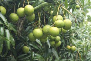 mangoes-265173_960_720