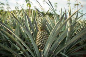 pineapple-3664499_960_720