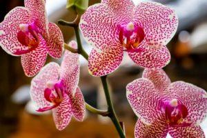 orchids-4838565_960_720