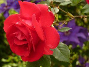 rose-7634_960_720
